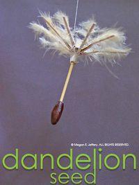 Dandelionbelow