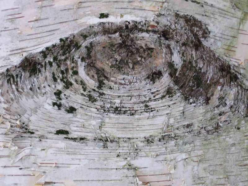 Bircheye